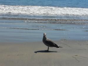 Santa Cruz Seagull
