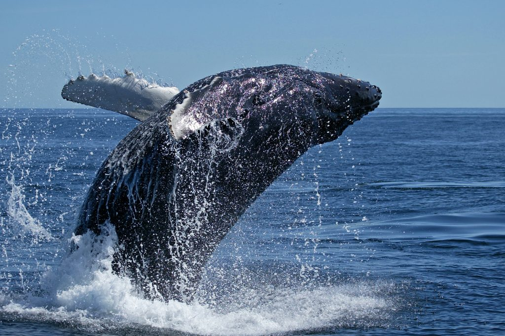 What Writers Can Learn From Whales by Victoria M. Johnson